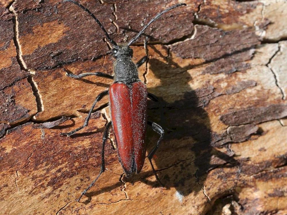 Новый вид редкого жука нашли в Воронежском заповеднике