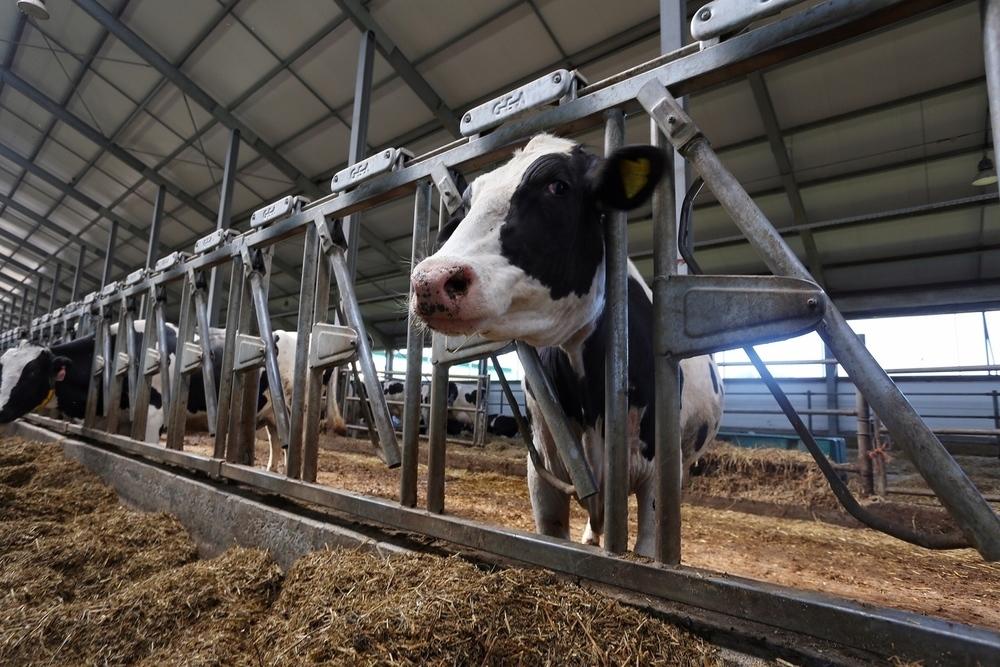 В Воронежской области анонсировали появление животноводческой мегафермы