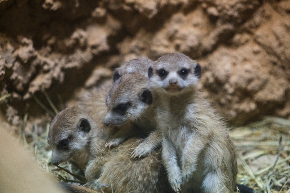 Малыши-сурикаты родились в Воронежском океанариуме