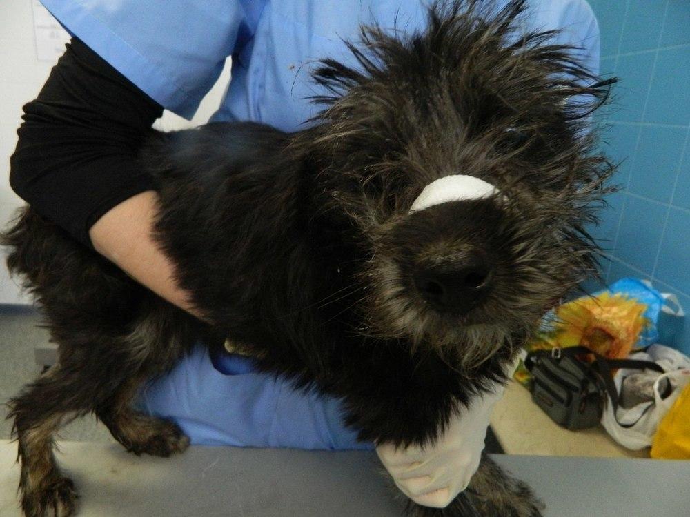 В Воронеже зоозащитники спасли собаку с отрезанными ушами и хвостом