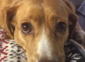 Собака со взглядом «кота из Шрека» умилила воронежцев
