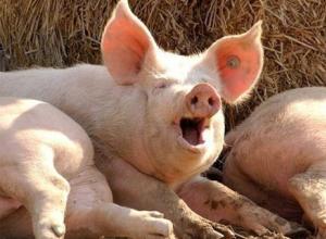 Ветеринарные специалисты в Воронежской области выявили очаг африканской чумы свиней