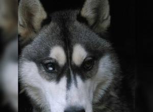 В Воронеже пропала собака хаски необычайной красоты