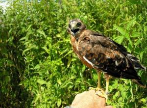 Воронежскую окольцованную птицу нашли со смертельными ранами под Белгородом