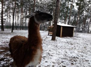 Воронежскому зоопарку подарили самца гуанако по кличке Фима