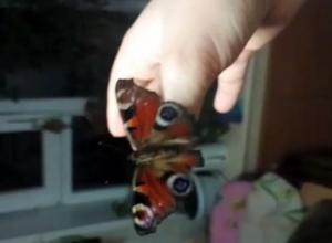 Воронежцы сняли на видео бабочку, проснувшуюся из-за аномального потепления
