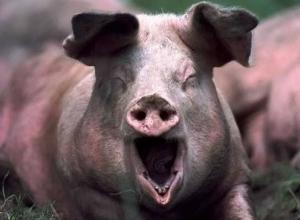 Воронежская область оказалась в лидерах регионов по производству свинины