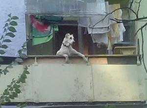 Воронежцев рассмешила собака, забавно свисающая с балкона