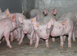 Лето – пик распространения африканской чумы свиней