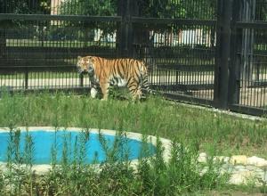 Тигр из Воронежского зоопарка получил имя великого императора