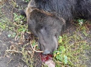 Хозяин воронежского медведя-убийцы ответит в суде за смерть 86-летнего ветерана