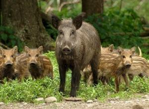 Из-за африканской чумы свиней в Воронежской области постреляли сотни кабанов