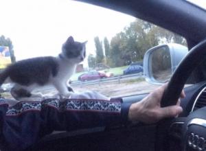 Котенок-штурман поразил воронежских водителей своей смелостью