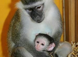 У зеленых мартышек в Воронежском зоопарке появился детеныш