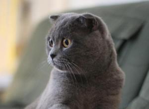 В Воронеже «хорошие хозяева» жестоко обошлись с котом-шотландцем