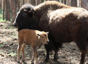 Опубликовано фото новорожденного воронежского бизона