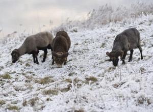 Голодный вор разделал барана прямо на ферме Воронежской области