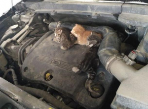 Воронежцы рассказали, как ездили с котятами под капотом машины