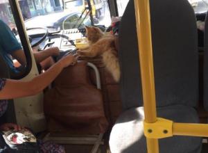 Мохнатого «котдуктора» заметили в воронежском автобусе