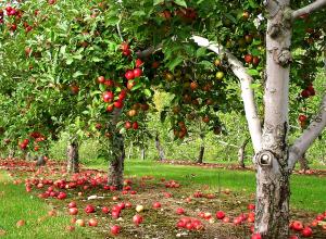 Под Воронежем сняли карантин плодовых деревьев, который длился более трех лет
