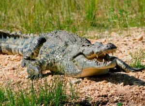 В Воронеже девушка стала опекуном нильского крокодила Тоши