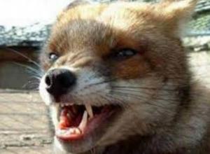 Почти в два раза возросло  количество бешеных животных в Воронежской области
