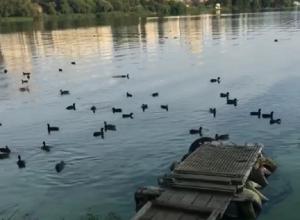 В Сети обсуждают нашествие уток в Воронежском водохранилище