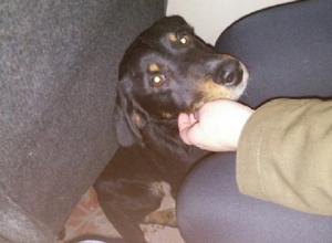 Катающегося на воронежских маршрутках пса хозяева просят задержать за вознаграждение