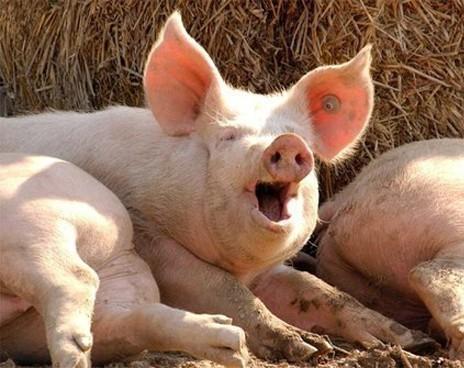 Вселе Пески найдена африканская чума свиней