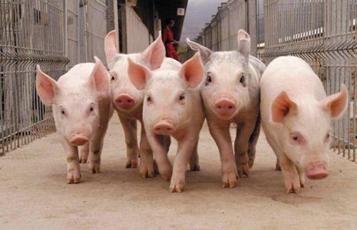 Млрд для свиней: Фонд моногородов инвестирует вворонежское животноводство