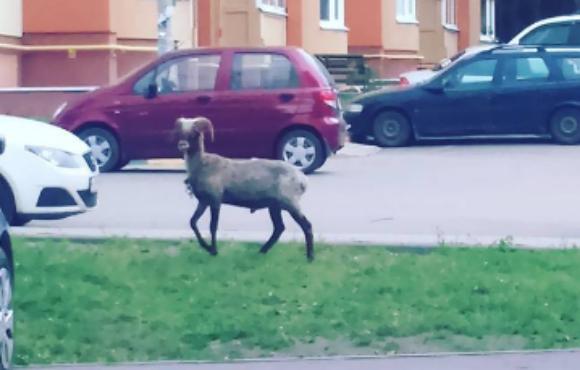 Причудливый козел, разгуливающий по улицам, озадачил жителей Воронежа