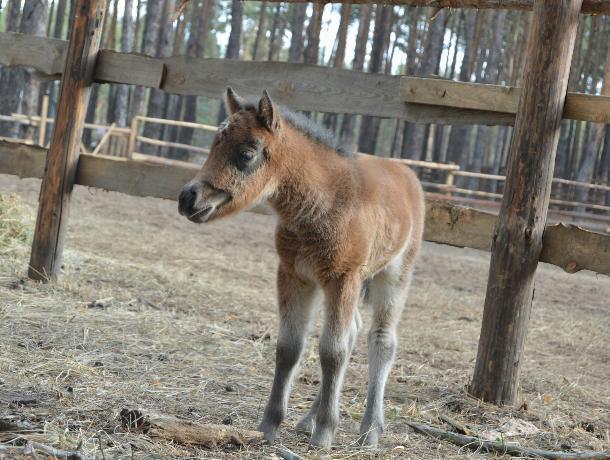 У семьи пони в воронежском зоопитомнике появился детеныш