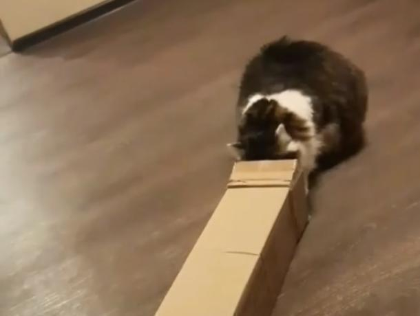 Попытки воронежской кошки забраться в коробку сравнили с новогодним обжорством