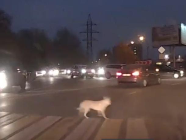 Аккуратного четвероногого пешехода сняли в Воронеже