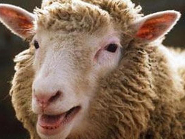 Воронежская овца закончила жизненный путь в желудке своего парикмахера