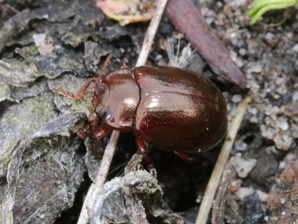 Крошечных редких жуков нашли и сфотографировали в Воронежском заповеднике