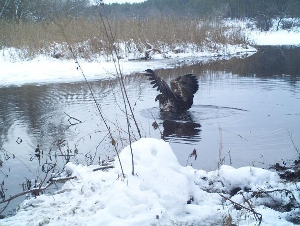 Фотография воронежского орлана победила в национальном конкурсе