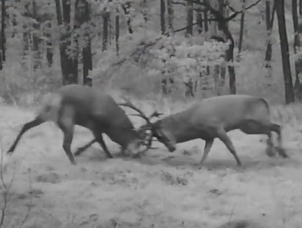 Битва оленей в Воронежском заповеднике попала на видео