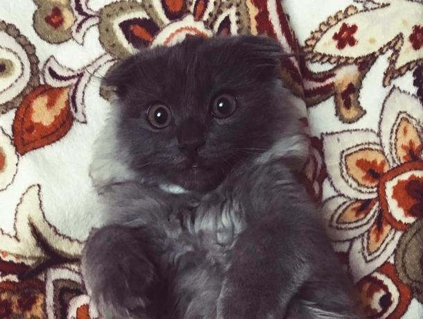 Вечно удивленный кот-шотландец со смешной мордочкой покорил воронежцев