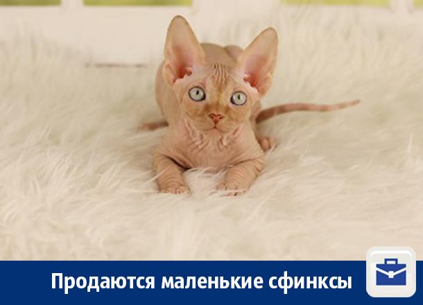 Котята-сфинксы из частного питомника