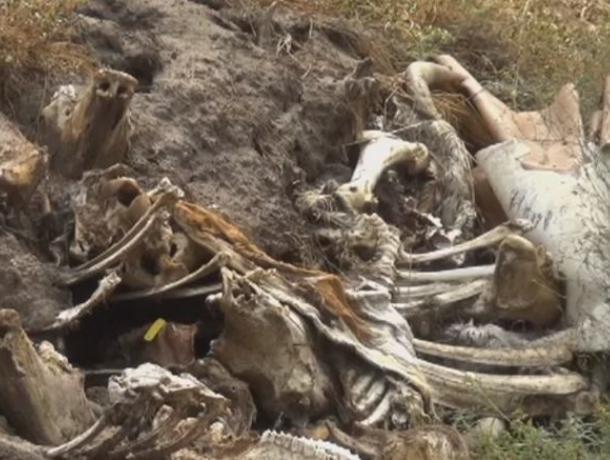 Воронежцы обнаружили в лесу заваленный останками скотомогильник