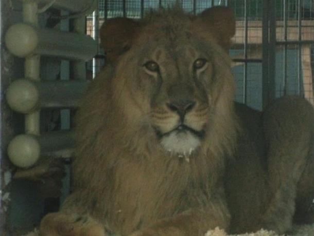 ВВоронежский зоопарк приехал лев