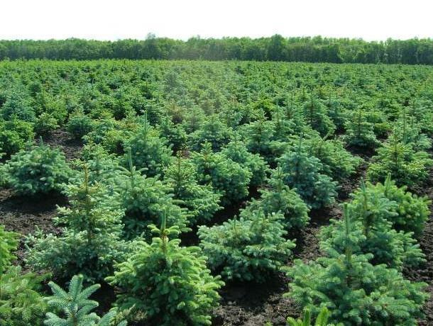 ВВоронежской области перевыполнили план попосадке лесов