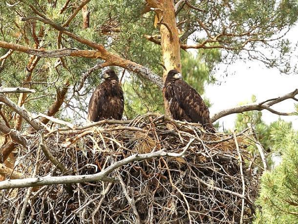 Редкие орланы-белохвосты пустили воронежцев в свою семейную жизнь