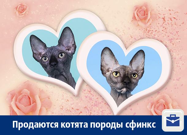 В Воронеже продают сфинксов