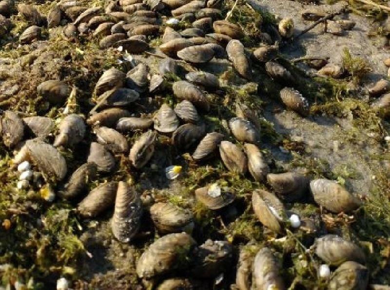 Массовую гибель двустворчатых моллюсков сняли на фото в Воронеже