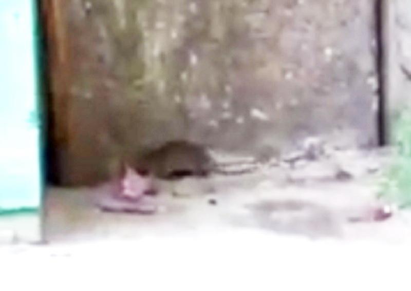 Резвящаяся жирная крыса у воронежского подъезда попала на видео