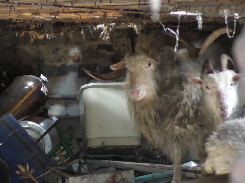 В Воронеже из дома, забитого до отказа мусором, спасли семейство коз