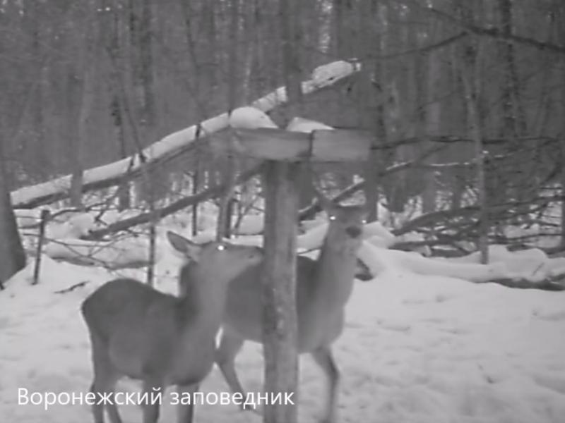 Соляную трапезу оленей сняла камера под Воронежем