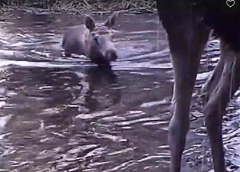 Элегантно переплывающих реку лосей сняли в Воронежском заповеднике